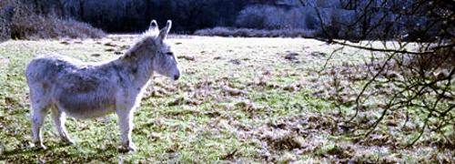 A Henfield donkey