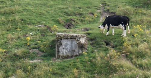 A bovine archaeologist at work.