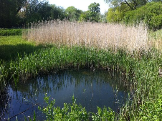 Pond with Reed Eyebrow