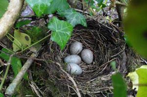 Nesting-Birds-A477-2