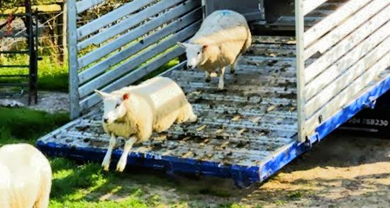 Sheep disembark at Saddlescombe Farm