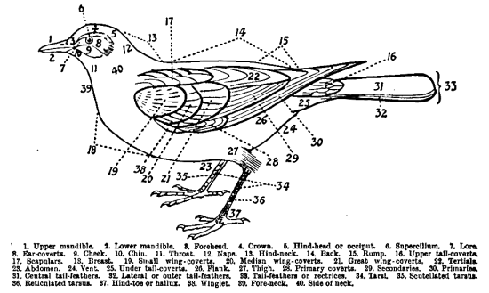 Diagram of bird from J. Maclair Boraston (1909) British Birds and their Eggs. London: W&R Chambers, page x.