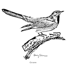 Henry_Stannard's drawing of a cuckoo, published in 1897