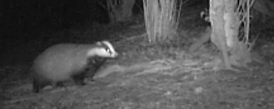 Badgers in Fulking
