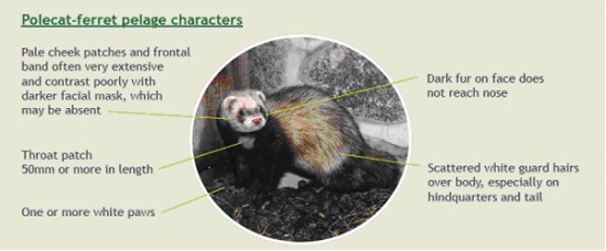 Polecat-Ferret cross