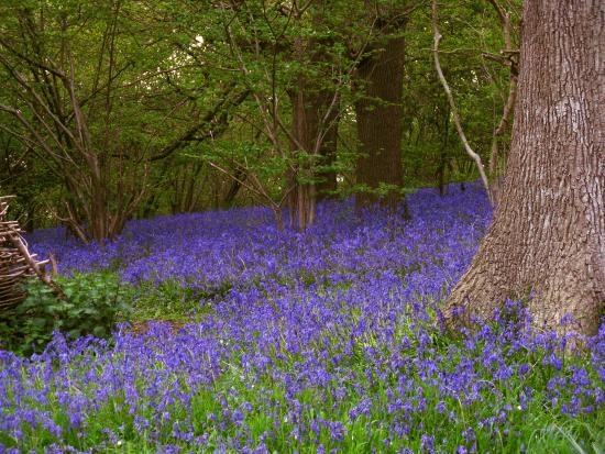 Bluebells at Furzefield