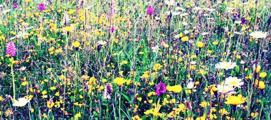 Wild flowers on chalk grassland