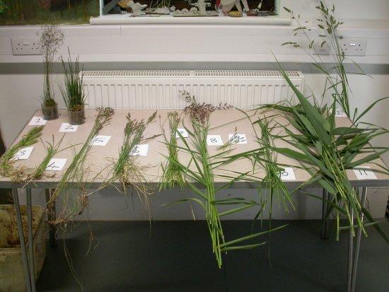 Identifying Grasses, Sedges & Rushes