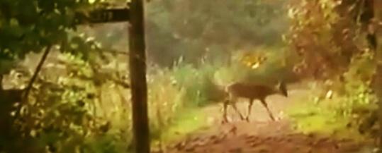 Roe deer at Woods Mill
