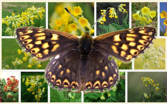 Duke of Burgundy on Cowslip