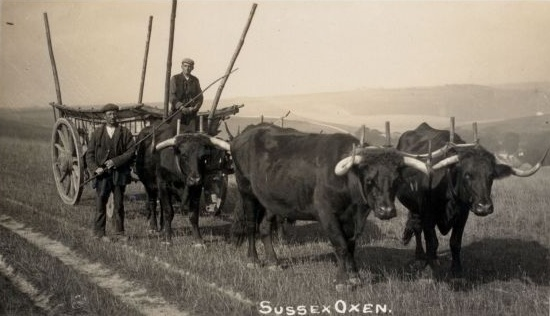 Sussex oxen at Exceat