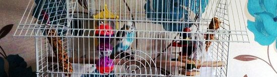 Preloved budgie for sale in Fulking
