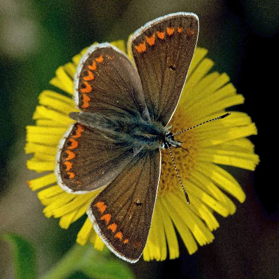 Dave Hill Brown Argus