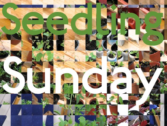 Seedling Sunday 2016