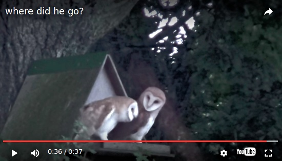 Baby Barn Owls in Twineham