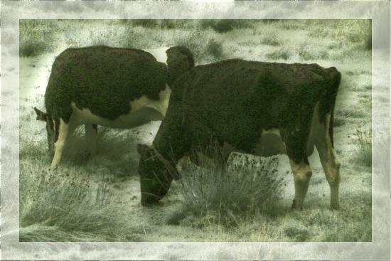 Two homicidal cows plan their next assault