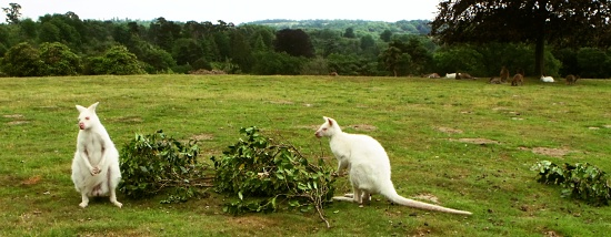 Albino_wallabies_at_Leonardslee,_West_Sussex_geograph_1957650