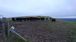 Cows in mud on Downs