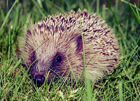 European hedgehog (Erinaceus europaeus)