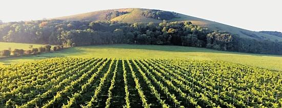 Wolstonbury vineyard